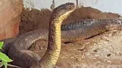 Chuyện ly kỳ về loài rắn khổng lồ ở núi Cấm tỉnh An Giang