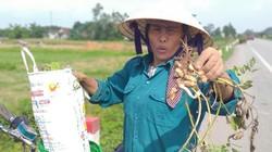 Nghệ An: Lạc đang xanh lá củ đã mọc mầm, nông dân điêu đứng