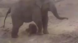 Ấn Độ: Nhận kết cục bi thảm vì chọc giận voi mẹ mới sinh con non