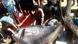 Khánh Hòa: Bắt được cá ngừ đại dương khổng lồ nặng gần 4 tạ
