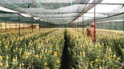 Lâm Đồng: Xót xa nhổ cả vườn hoa cúc vì virus, thiệt hại gần 100 tỷ