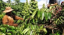Giá cà phê Tây Nguyên giảm kỷ lục, tỷ phú biến thành... con nợ