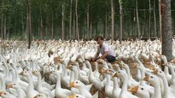 Cử nhân quyết không đi làm, về quê nuôi ngỗng kiếm trăm triệu mỗi năm