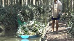 Kiên Giang: Khóm Tắc Cậu trái vụ giá tăng mạnh, cả làng vui