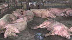 Nóng: Địa phương thứ 2 ở miền Tây xuất hiện ổ dịch tả lợn châu Phi