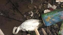"""Con thiên nga """"giãy chết"""" trên đống rác ở sông Tam Bạc giờ ra sao?"""