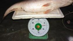 Nghi câu được cá sủ vàng nặng 7kg, người đàn ông ra giá gần tỷ đồng