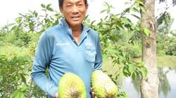 Tỷ phú đêm đi thụ phấn mãng cầu xiêm, bán hơn 200 tấn trái/năm