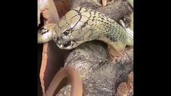 Video: Kết cục của rắn chuột khi giỡn mặt hổ mang chúa khổng lồ