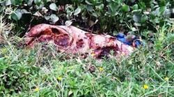 TT- Huế: Dịch tả lợn châu Phi sắp lan kín 9 huyện, xác lợn vứt bừa bãi