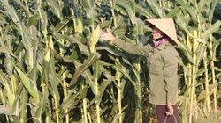 Trồng ngô không lấy bắp mà bán cả cây, dân sông Lam có trăm triệu