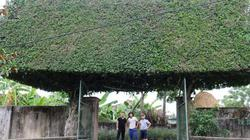 Cổng nhà độc đáo nhất vịnh Bắc Bộ: Làm từ 2 cây duối cổ thụ