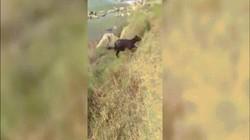 Video: Trâu xuống mép sông uống nước, chạy lên bờ đã mất một chân