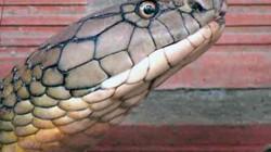 Tin mới về nơi thả cặp rắn hổ mang chúa ở An Giang: Sẽ giữ bí mật