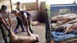 Tây Nguyên lần đầu tiên xuất hiện dịch tả lợn châu Phi tại Gia Lai
