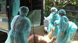 NÓNG: Dịch tả lợn châu Phi chính thức tấn công Cần Thơ với 3 ổ dịch