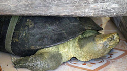 Clip tận mắt thấy cụ rùa 100 tuổi ăn chay, nghe kinh Phật