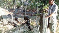 Nuôi có 20 con heo rừng sinh sản mà mỗi năm lời 100 triệu đồng