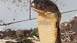 Cặp rắn hổ mây 'khủng' ở An Giang: Bí mật chưa được công bố