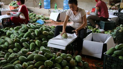 Thương lái đổ về Sơn La mua xoài giá cao, nông dân phấn khởi