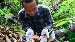 Săn loài nấm quý hơn nhân sâm, phơi khô bán giá cao gấp 3 lần