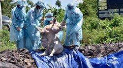 Dịch tả lợn châu Phi tàn phá vùng ĐBSCL, người dân lao đao