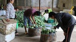 Sơn La: Bán ra nước ngoài gần 1.500 tấn xoài, thu 833.000 đô la Mỹ