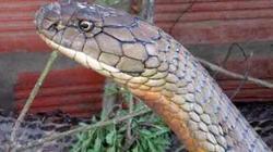 """Cặp rắn hổ mây bị bắt ở Núi Cấm: Trong """"họa"""" có """"phúc"""" cho chúng?"""