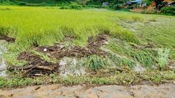 Sạt bãi thải mỏ than, khoảng 35.000m2 diện tích lúa bị vùi lấp