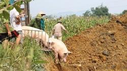 """""""Bão"""" dịch tả lợn châu Phi lây đang lan nhanh tại Phú Thọ"""
