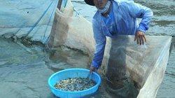 Mùa bắt cá rò giống bán 500 ngàn-1 triệu đồng/kg ở cửa biển Tư Hiền