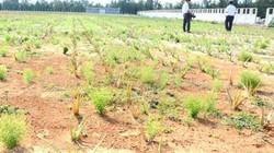 """Nhiều dự án nông nghiệp trăm tỷ tên """"mỹ miều"""" nhưng bỏ hoang"""
