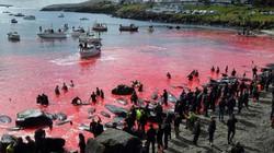 Thảm cảnh cá voi bị con người chém giết đỏ rực cả vùng biển ở châu Âu