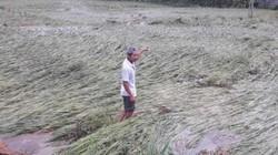 Thái Nguyên: Dân khóc ròng nhìn ruộng lúa bị vùi lấp dưới bùn than