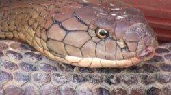 Loài rắn hổ mây Núi Cấm: Khi rình mồi im phăng phắc như chết