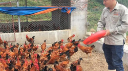 Thạc sỹ bỏ giảng đường về quê nuôi gà VietGAP, kiếm 80 triệu/tháng