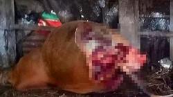 Quảng Bình: Kẻ thủ ác kích điện, xẻ trộm thịt bò cái đang mang thai