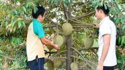 Vùng đất cây sầu riêng thấp tè trái đầy cành, cứ 1 cây thu 1 triệu