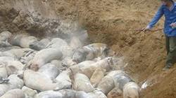 TT-Huế: Dịch tả lợn châu Phi lan chóng mặt, 530 hộ có lợn mắc dịch