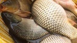 Nuôi cá chép trong ruộng lúa, chả phải cho ăn mà cá vẫn to, bự
