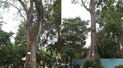 """Chuyện về vườn thú 155 tuổi: Ly kỳ những """"cụ"""" cây cao tuổi quý hiếm"""