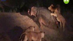 """Video: 5 sư tử quây """"đánh hội đồng"""" một con hà mã đang bị thương"""