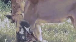 Màn tẩu thoát ngoạn mục của chó hoang khi bị sư tử ngoạm chặt cổ