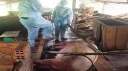 Cần Thơ: Tình hình rất lo thiếu người chống dịch tả lợn châu Phi