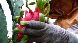 Các nước đua trồng thanh long, VN phải làm bản quyền giống gấp