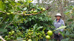 Vườn trồng xen 3-4 tầng cây chia lửa với nỗi buồn cà phê thấp rề rề