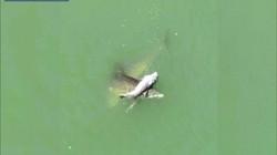 Video: Xót xa cảnh cá heo mẹ không ngừng nâng xác con non trên biển