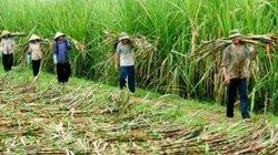 Đường Thái Lan được trợ giá 3.000 đồng/kg, người trồng mía Việt Nam khốn đốn
