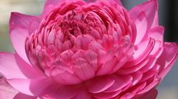 'Choáng khu vườn có 40 loại sen quý, nở hoa nghìn cánh tỏa mùi thơm