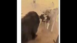 Video: Chó ngao Tây Tạng đơn độc tranh mồi giữa bầy sói vây quanh